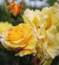 Die Geschichte der Rosen