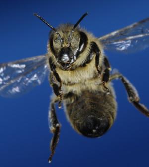 Biene-im-Landeanflug